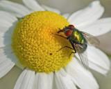 Fly on Daisy  Bangor  7-14-12-ed-pf.jpg