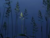 Weeds  DeMeritt Forest b 6-26-16-pf .jpg