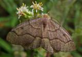 Hemlock Looper Moth - Loop Trail - Walden 9-11-13-ed-pf.jpg