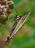 Canadian  Tiger Swallowtail - Sears Island c 7-14-13-ed-pf.jpg