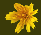 Wildflower  Walden 11-2-12-ed b-pf.jpg