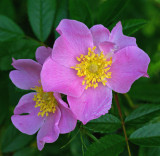 Rosa rugosa - Sears Island 7-19-11-ed-pf.jpg