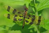 Dragonfly  - City Forest b 7-6-13-ed-pf.jpg