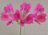 Alstroemeria 2-3-05 -pf -e.jpg