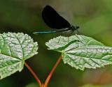 Dragonfly - Little Harbor Brook 7-28-10-ed-pf.jpg