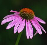 Echinacea Garden 8-13-16 .jpg