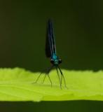 Dragonfly Walden b 7-8-11-ed-pf.jpg