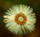 Flower Gone to Seed - City Forest 5-31-12-ed-pf.jpg