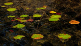 Lily Pads Ducktail Pond b 8-29-16-pf.jpg