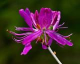 Flowering Bush  - City Forest 5-17-12-ed-pf.jpg