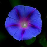 Morning Glory  Garden 9-8-16.jpg