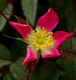 Wild Rose  Bangor 5-30-12-ed-pf.jpg