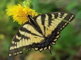 Canadian  Tiger Swallowtail - Sears Island 7-14-13-ed-pf.jpg