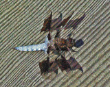 Dragonfly Perch Pond b 6-24-16-pf.jpg