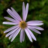Wildflower - McCabe Mtn. Trail 9-26-13-ed-pf.jpg