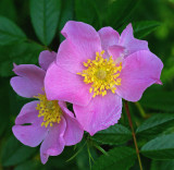 Rosa rugosa - Sears Island 7-19-11-pf.jpg