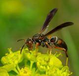 Wasp Orono  b 5-13-12-pf.jpg