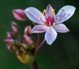 Wildflower Kenduskeag Stream  6-19-16-pf.jpg