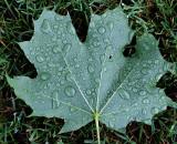Leaf  - Neighborhood 6-29-13-ed-pf.jpg