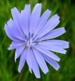 Chicory City Forest b 7-18-16-pf.jpg