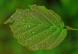 Leaf Sunkhaze 7-8-16-pf.jpg