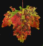 Leaf -  Sunkhaze 9-20-11-ed-pf.jpg