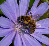 Bee - City Forest 8-28-13-ed-pf.JPG
