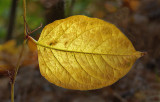 Leaf - Bangor c 10-27-12-pf.jpg
