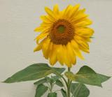 Sunflower - Bangor b 8-26-13ed-pf.jpg