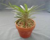 Pachypodium lamerei.jpg