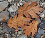 Leaves Sears Island  11-4-1-pf.jpg