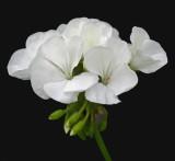 Flowers  - Bangor 7-7-13-ed-pf.jpg