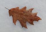 Leaf PB Along Kenduskeag b 1-26-17.jpg