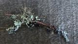 Lichen  Little Long Pond 12-21-16-ed-pf.jpg