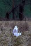Snowy Owl in Pennsylvania