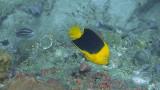 Rock Beauty Anglefish