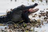 Gator Biting a Catfish in Half.jpg