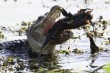 Gator Tossing the Fish.jpg