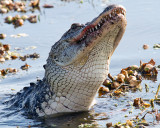 Gator Swallowing.jpg