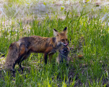 Fox Vixen with Kit at Yellowstone Picnic Area.jpg