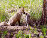 Red Fox Momma with Kit at Yellowstone Picnic Area.jpg