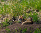 Red Fox Mom with Kit on the Den.jpg