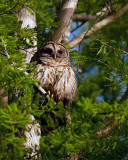Barred Owl.jpg