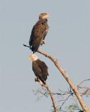 Eagle Adult and Juvenile.jpg