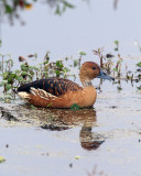 Fulvous Whistling Duck on Marsh Rabbit Run.jpg