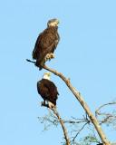 Bald Eagle and Juvenile.jpg