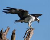 Osprey with Fish.jpg