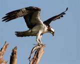 Osprey on Alligator Alley.jpg