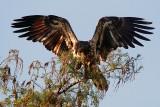 Juvenile Bald Eagle Wings Spread.jpg
