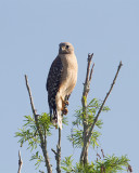 Red Shoulder on the Treetop.jpg